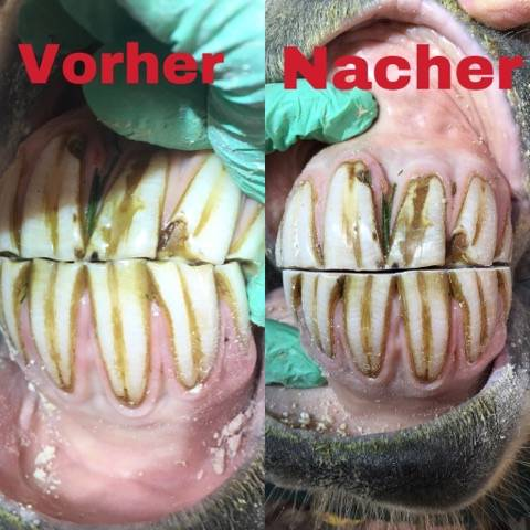 Pferde-Zahnarzt-Islandpferde-Blog-Vergleich-2